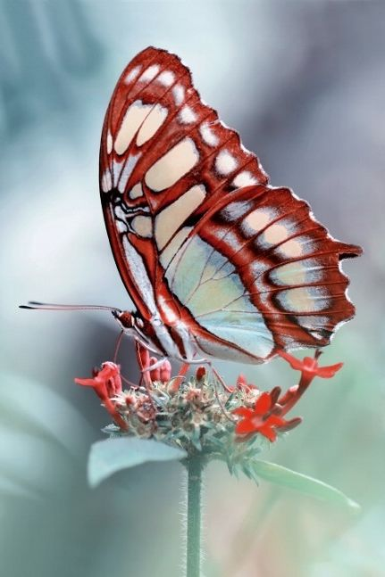 I LOVE THE RED, WHITE AND BLUE COLORS ON THIS BUTTERFLY!!!  A PATRIOTIC BUTTERFLY!!!