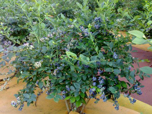 Planta en el 3ª año de injerto iniciando la segunda cosecha, agosto 2008. (Fotografía © J. C. García)