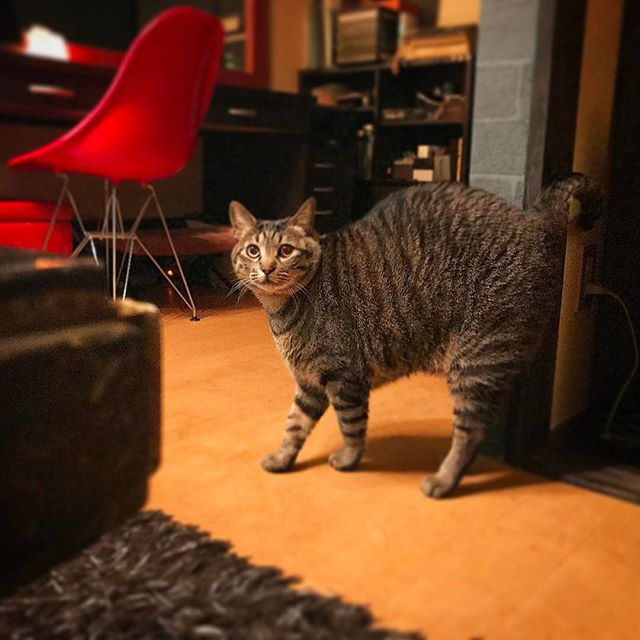 太っちょケンがめっちゃ伸び切ってる〜変な歩き 笑😹怒ってる訳ではないよ〜😼✨ ・ ・ ・ ・#猫#ネコ#ねこ#三毛猫#キジトラ#茶トラ#ねこ部#愛猫#デブ猫#美猫#イケ猫#イケニャン#ペコねこ部#にゃんすたぐらむ#ニャンスタグラム#catstagram#cat#chat#katze#katt#kat#gatto#gato#pusa#고양