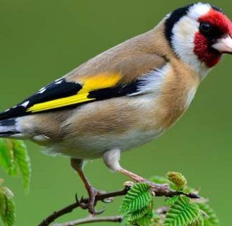 Pájaro jilguero: características, alimentación, hábitat y mas.