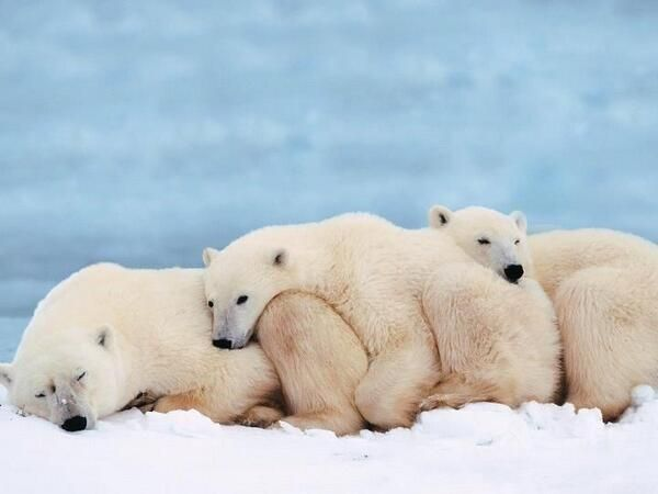 polar bears napping