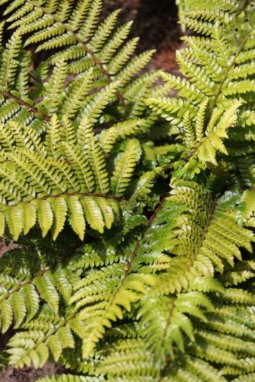 Glansschildvaren (Polystichum polyblepharum 'Jade')  30-40 cm redelijk wat compost  halfschaduw tot schaduw