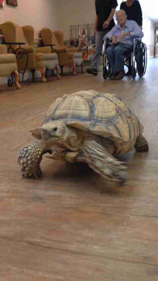 Rescued Tortoise Finds Purpose As Nursing Home's Resident Pet