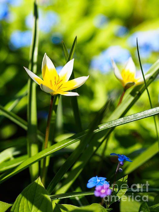 In the Garden - Tulipa tarda - Ismo Raisanen #art #fineartphotography #photog #deals #ismoraisanen