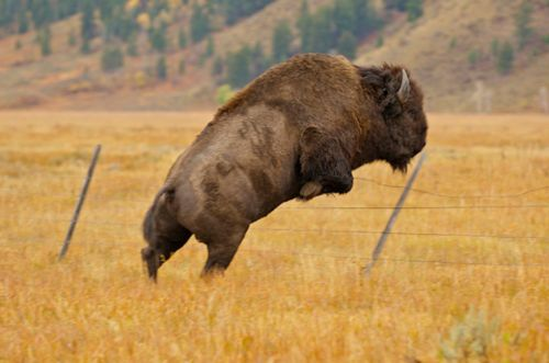 Bison jumping fence <3