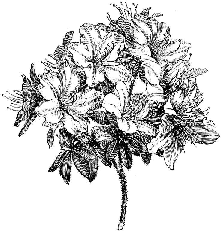 Azalea Flower Pictures - Beautiful Flowers