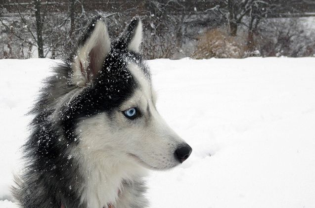 If you love the look of a Siberian Husky but can't handle the size and energy of the breed, the Miniature Husky might be more your speed.