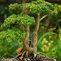 How To Care For Bonsai Trees, I want one so bad!!