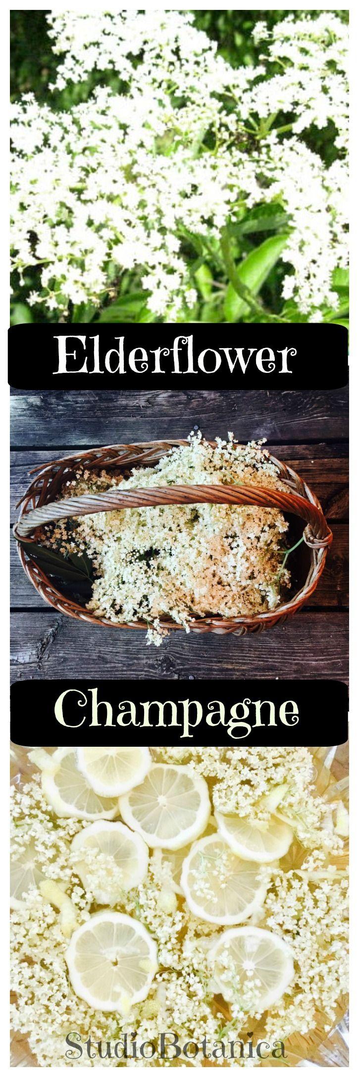 Make this delightful Elderflower Champagne or 'fizz'! Easy recipe. Delicious and 'kid-friendly'. Enjoy the benefits of Elderflower!