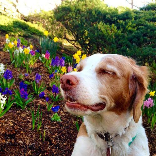 10 Things Only a Brittany Owner Would Understand | WOOFipedia by The American Kennel Club