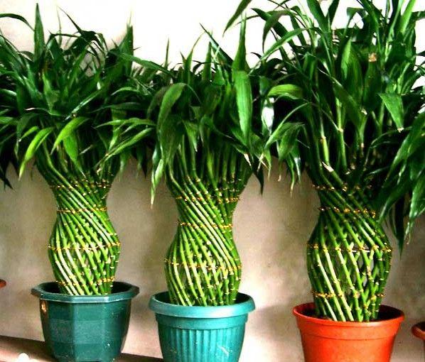bamboo-norocos