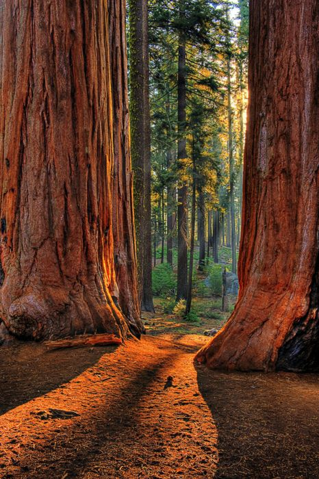California  The biggest the world  work clothes trees in Redwoods women s