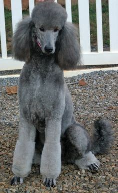 silver Standard Poodle | So I get my Silver Standard Friday.-suri_01.jpg