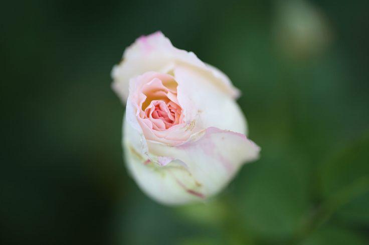 Rose от Dave