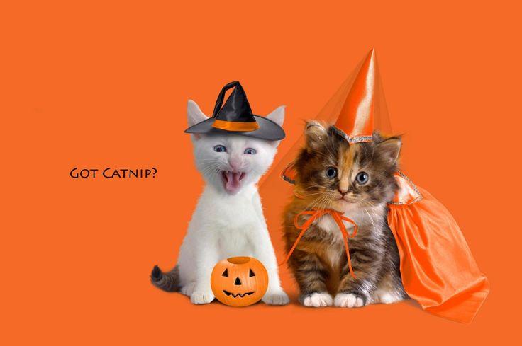 Férias Dia Das Bruxas  Férias Pumpkin Jack-o'-lantern Kitten Papel de Parede