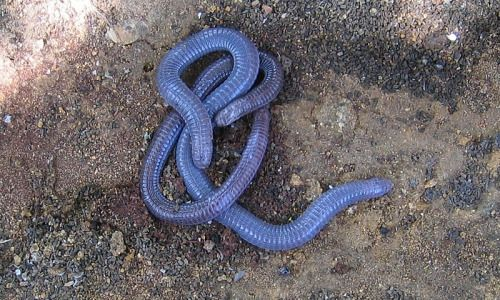 """reptilefacts:  European Worm Lizard(Blanus cinereus) TheEuropean Worm Lizard, also known as theIberian Worm Lizard,is a species ofreptilein the familyAmphisbaenidae(worm lizards). It is locally known as""""Cobra-cega""""(Portuguese),""""culebrilla ciega""""(Spanish) and""""colobreta cega""""(Catalan)meaning 'blind snake'. This speciesis found in the southern section of theIberian Peninsula, southwards of riversEbroandDouro.Its naturalhabitatsare temperateforests, temperateshrubland…"""
