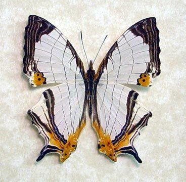 Gift Under 25 Real Framed Map of Malaysia Butterfly Cyrestis Nivea Nivalis 8917