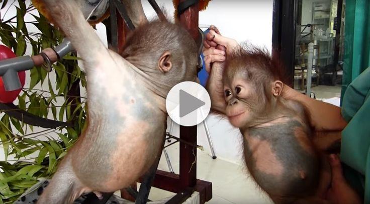 Quand deux bébés singes orphelins se voient pour la première fois