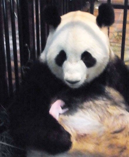 Seven-year-old female giant panda Shin Shin cuddles her newborn baby at Ueno Zoo in Tokyo. The cub was born on Thursday but the baby's gender is not yet known.