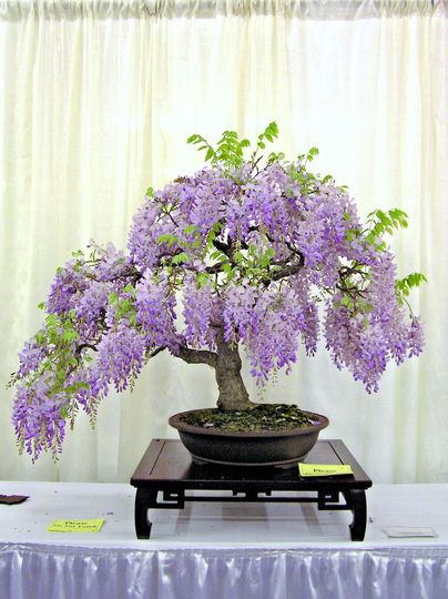 wisterial bonsai   Bonsai- Wisteria : I would love to be able to grow this!!