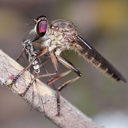 Natural Mosquito Killer