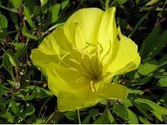 Oenothera macrocarpa ( missouriensis ) - pupalka Zahradnictví Krulichovi - zahradnictví, květinářství, trvalky, skalničky, bylinky a koření