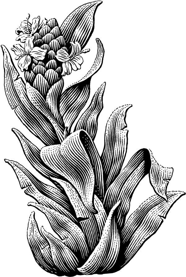 Plants by Michael Halbert (scratchboard illustration)