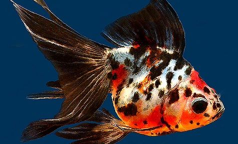 ryukin goldfish | Ryukin Goldfish Species - Fact & Care Guide