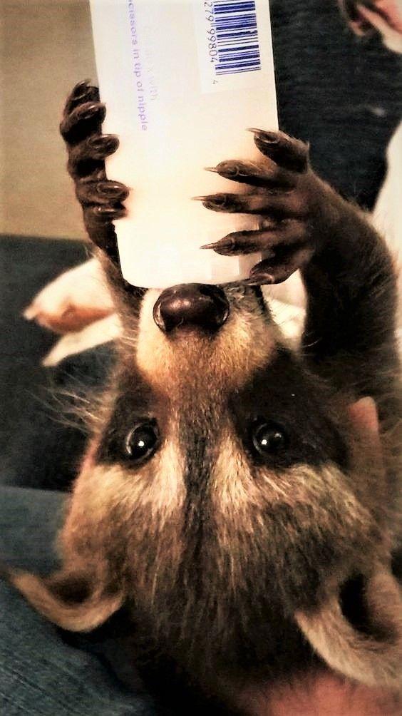 Baby Raccoon, Meeko.