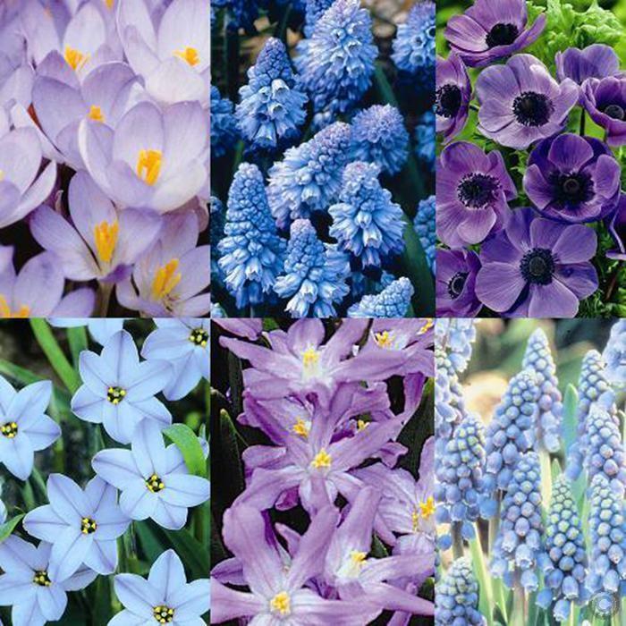Blauer Frühlingsgarten - 100 blumenzwiebeln günstig online kaufen, bestellen Sie schnell und bequem online