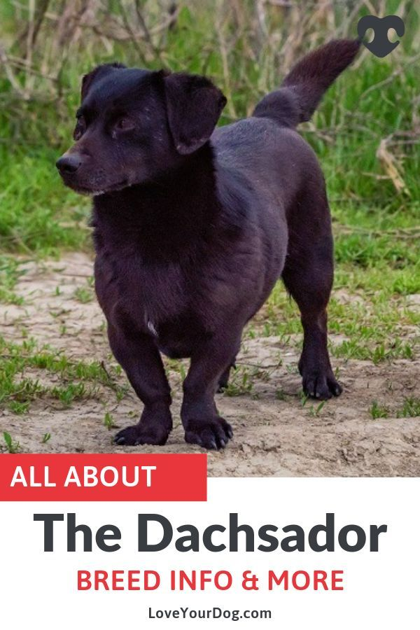 Dachshund Labrador Retriever Mix Dachsador Breed Overview Lab