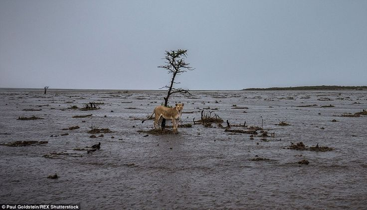 After: A lioness is 'stranded' on a small mound of mud during last week's torrential rains on the Masai Mara in Kenya