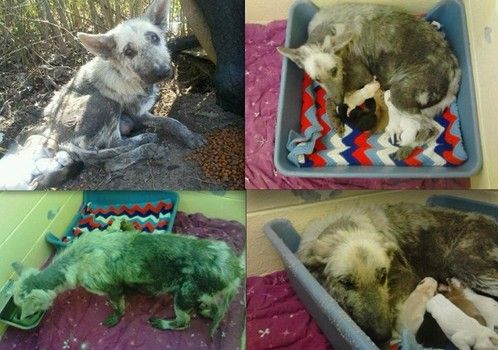 4/16/13 Horribly neglected German shepherd and puppies rescued in Virginia