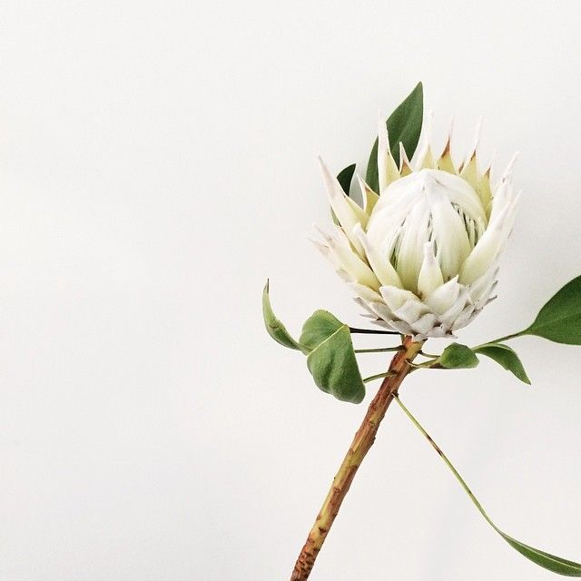Made From Scratch Instagram | white king protea