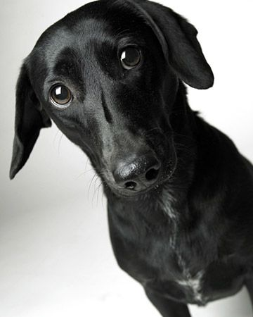 Doxador (Labrador + Dachshund) ... How can something that sounds so wrong be so cute?!