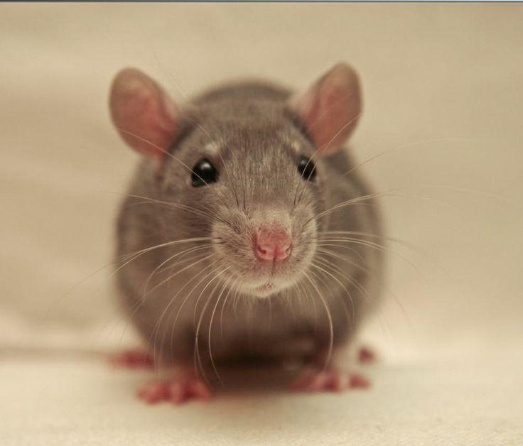 Rat Pussy 66