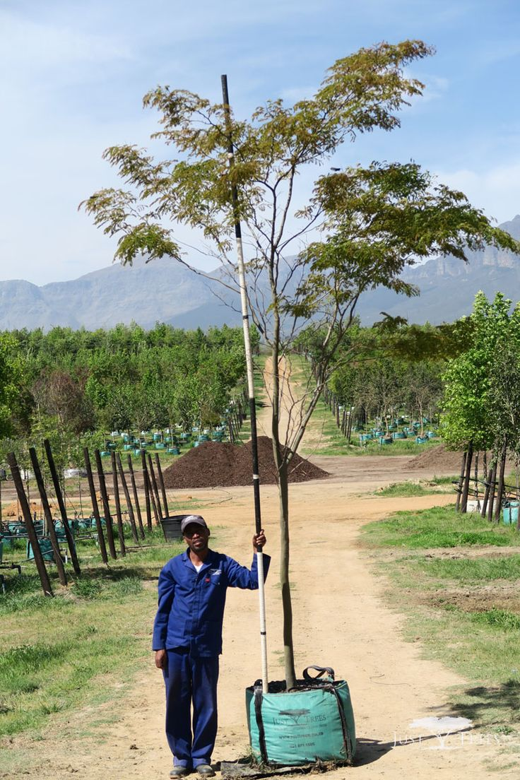 200L Caesalpinia ferrea. The deciduous Leopard tree is named so because of its beautifully textured bark. Originating from Brazil, its delicate branches and attractive leaves cast light shade that is suitable for grass-growing.
