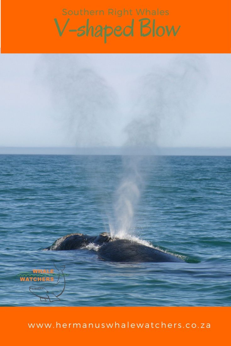 The characteristic V-Shaped blow of  southern right whales are causes by the two blow holes set slightly apart.
