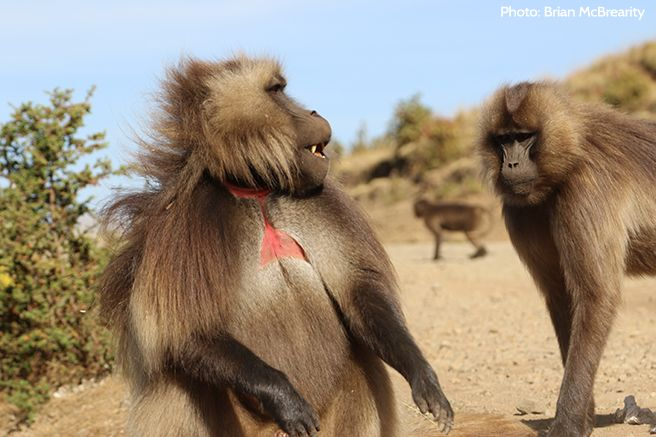 Their grazing behavior makes gelada monkeys a perfect potential source of prey for the Ethiopian wolf. But a new study finds the two species coexist peacefully, tolerating each other's presence without incident.