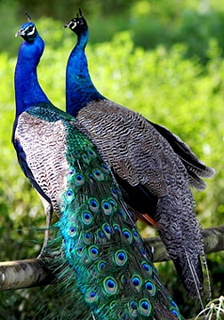Mr & Mrs Peafowl- Male Indian Peacock & Female Peahen