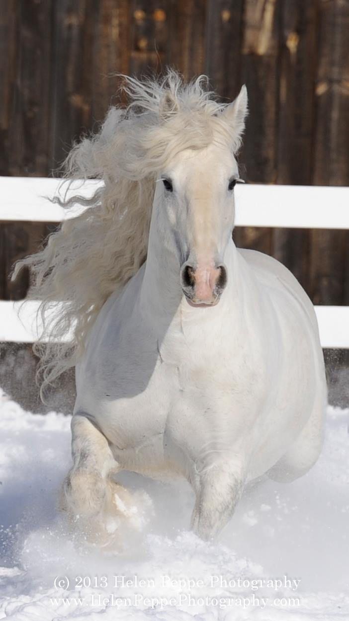 Los caballos puden ser animales doésticos y salvajes, en este caso el caballo es…