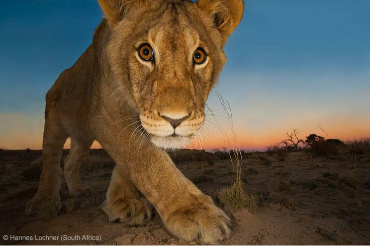 BBC Wildlife Awards 2013 - ANIMAL PORTRAITS - JOINT RUNNER-UP: 'Curiosity and the cat' by Hannes Lochner