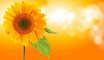 behind sunflower background vector