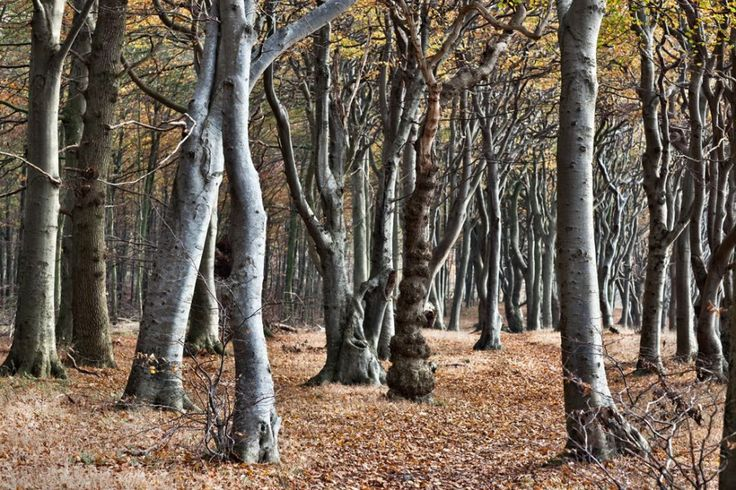 The Peculiar Trees of Denmark's Troll Forests (Troldeskoven)