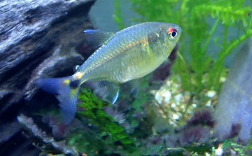 Head And Tail Light Tetra Hemigrammus Ocellifer Fish Tank