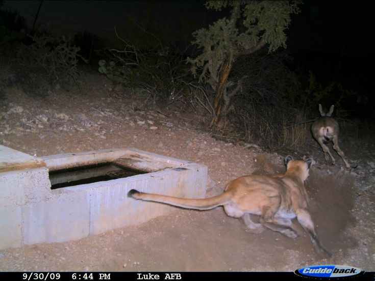 mountain lion caught hunting a deer on trail cam