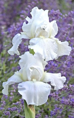 Iris germanica 'Immortality'