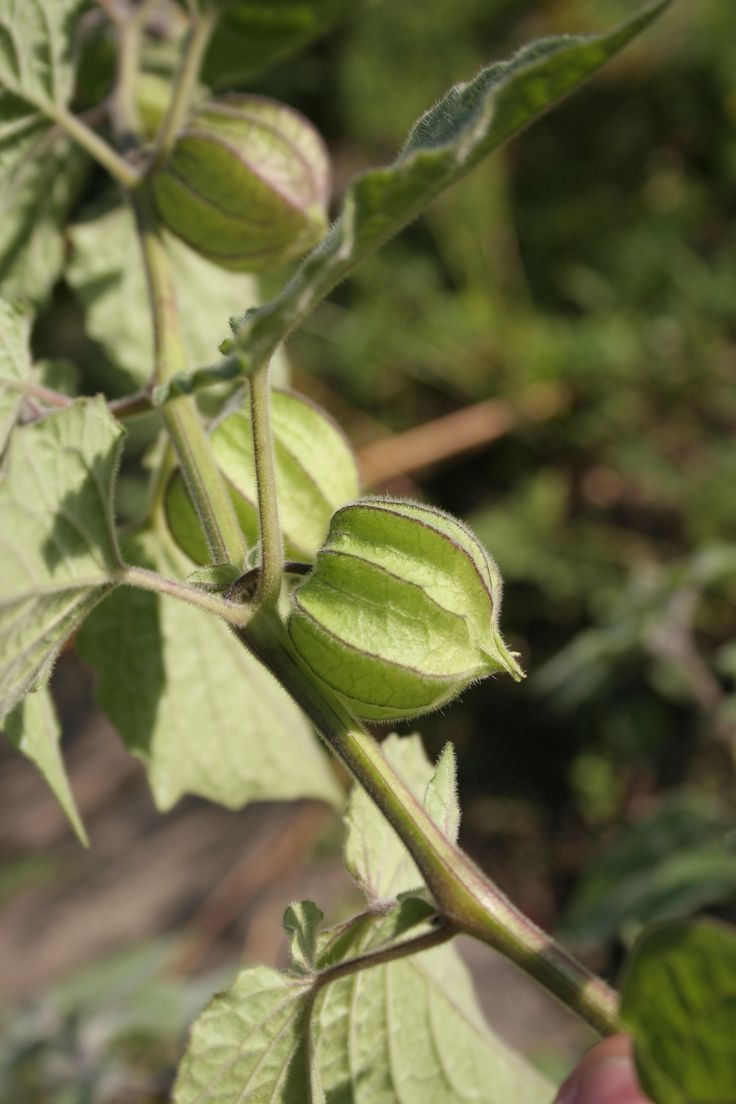 Physalis Pflanze