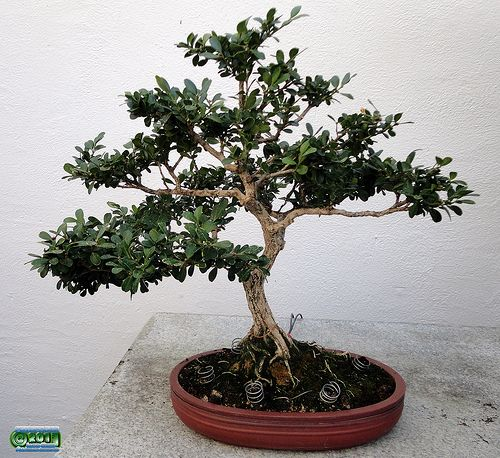 Chinese boxwood - Buxus sinica - Buxaceae - 40 years old - Donated by Government of China