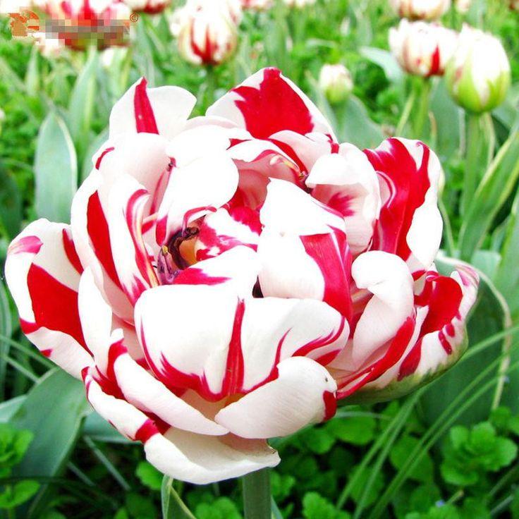 100pcs Rainbow Tulip Seeds Rare Flowers Seeds Perennial Bonsai Plant For Home Garden Courtyard Beautify